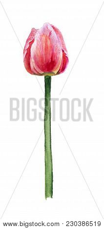 Watercolor Image Of Pink Tulip On White Background