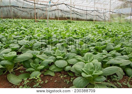 Indoor Of Bok Choy Or Chinese Cabbage Plant In The North Of Thailand.