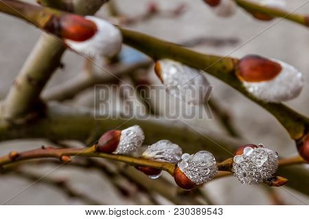 Droplets Of Rain On The Flowering Branches Of A Decorative Willow In The Early Spring.