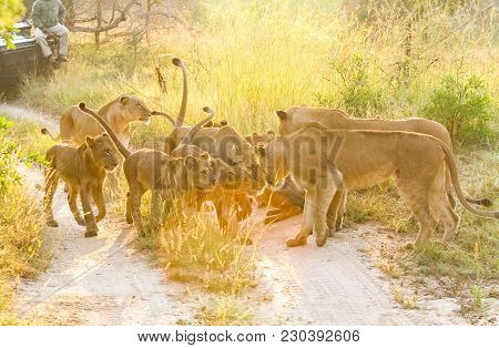 A Pride Of African Lions Greeting One Another In A South African Wildlife Game Reserve, Female Lione