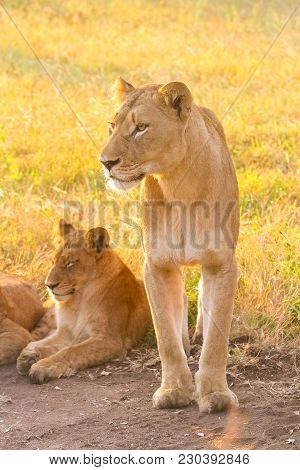 Close Up Of A Female African Lion And Cub In A South African Wildlife Game Reserve At Sunrise