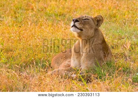 Close Up Of A Female African Lion In A South African Wildlife Game Reserve At Sunrise