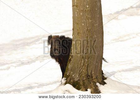 Curious Wild Boar Hiding Behind A Tree ( Sus Scrofa )