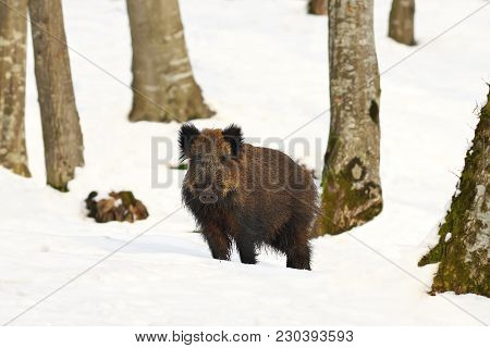 Wild Hog In Natural Habitat ( Sus Scrofa )