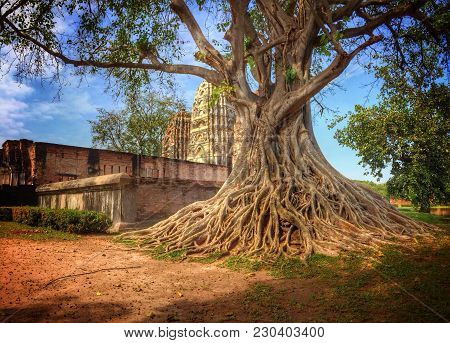 Ancient Tree With Exposed Roots Next To An Ancient Temple In Sukhothai, Thailand.