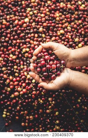 Coffee cherries arabica in hand Southeast Asia
