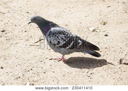 Little Pidgeon Bird Bird Bird Bird It Is Echo