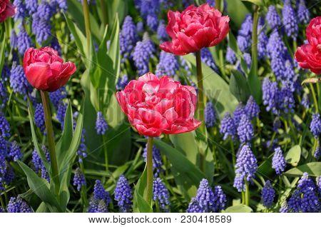 Background Grape Hyacinth Muscari And Pink Tulips Flowering. Macro Of Blue Muscari Flower Meadow.