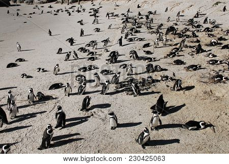 Africa- Hundreds Of Penguins Nesting In South Africa