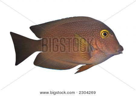 Tropical Fish Ctenochaetus truncatus isolated on white poster