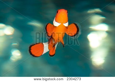 Tropical fish Amphiprion Ocellaris (clownfish). In close up poster