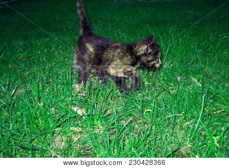 Adorable Black Yellow Cat On Green Grass. Amazing Kitty, Sweer Small Pet, Animal