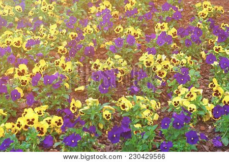 Yellow And Blue Pansies Photographed In Washington D.c., Usa. Plenty Of Various Flowers Can Be Found