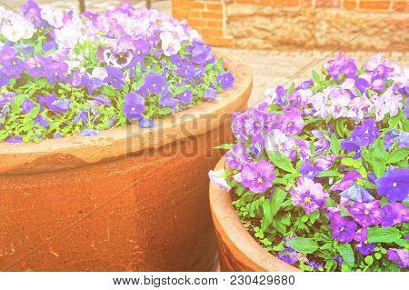 Viola Tricolor Flowers In The Flowerbeds On The Street Of Wroclaw, Poland, Europe. Sunlight Toned