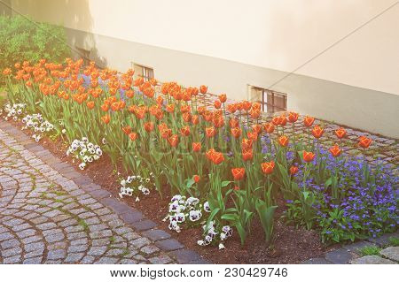 Tulips And Forget Me Not Flowers In A Garden In Reichenau Island On Lake Constance In Baden-wurttemb
