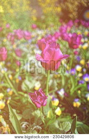 Main Focus In This Photo Is On The Gorgeous Purple Tulip Among Others In A Flowerbed. The Picture Wa