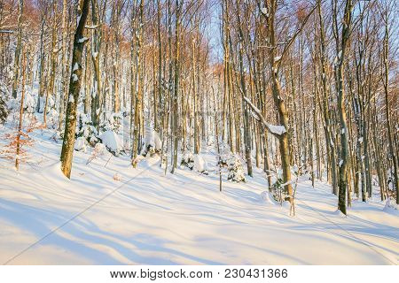 Sunset In The Deciduous Forest Covered With Deep Snow At Winter.
