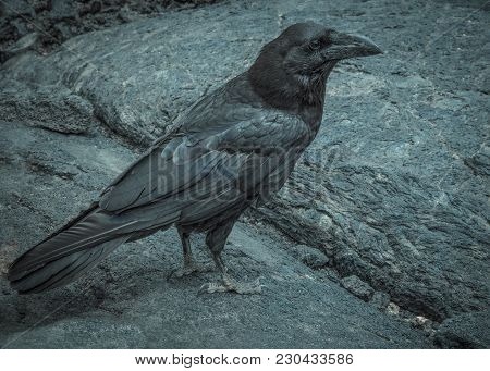 Black Raven On A Black Solidified Lava In La Palma.close-up Horizontal. Cool Tone Color.