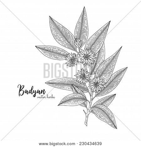 Badyan Isolated On White Background. Herbal Engraved Style Illustration. Detailed Organic Product Sk
