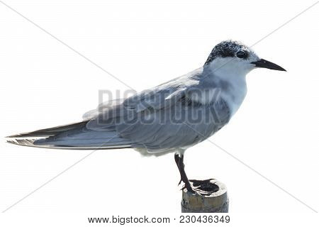 Whiskered Tern Perching On Wooden Stake Isolated On White Background