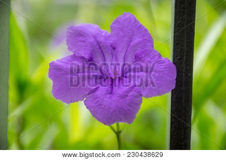 Purple Ruellias Flower In Garden , Ruellia Tuberosa Linn.