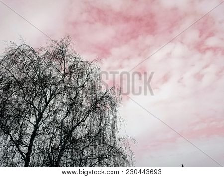 Amazing Dry Tree And Amazing Pink Sky With White Clouds, Abstract Nature. Cold Winter