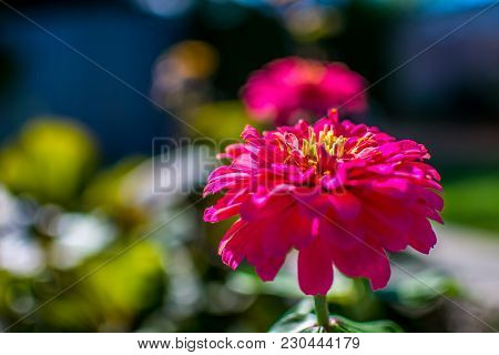 A Beautiful Pink Zinnia Flower In Full Bloom In The Sun, With A Shallow Depth Of Field.
