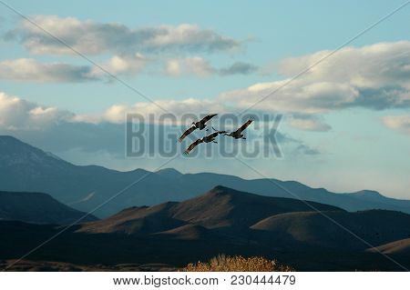 Three sandhill cranes fly in over the mountains in southern New Mexico near the Bosque Del Apache NWR. poster