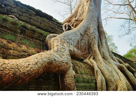 Tree Roots At Ta Prohm Temple Complex, Siem Reap, Cambodia.