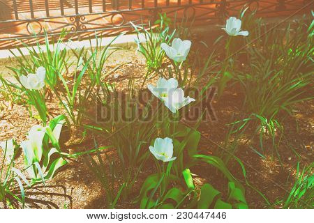 White Tulips Were Photographed In A Park In Washington D.c., Usa. The Tulip Is A Herbaceous Herb Wit