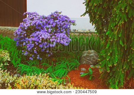 Violet Plants In A Garden On Reichenau Island On Lake Constance In Baden-wurttemberg, In Germany.