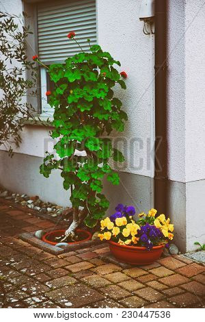 Viola Tricolor Flowers In A Garden In Reichenau Island On Lake Constance In Baden-wurttemberg In Ger