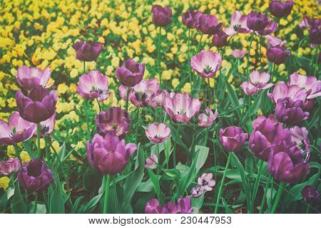 Beautiful And Colorful Dark And Light Purple Tulips Photographed In The Floral Library Located In Th