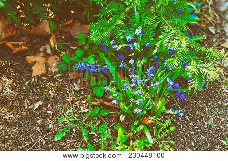 Little Blue Spring Flowers In Niagara Park At Niagara Falls From The American Part. They Are Called
