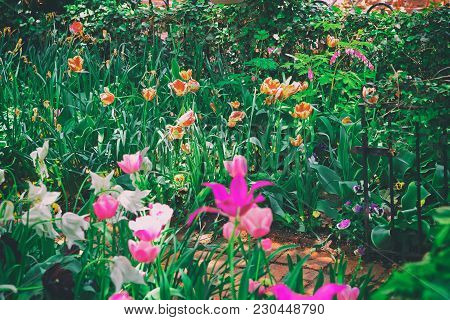 Plenty Of Various Species Of Tulips In The Flowerbed In Washington D.c., Usa. The Tulip Is A Eurasia