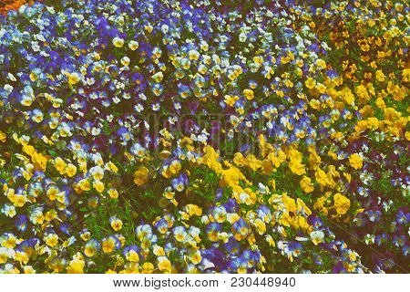 Flowerbed Of Brightly Colored Pansies Located In Washington D.c., Usa. Various Types And Species Of