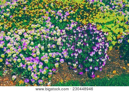 Bright Flowerbed Of Pansies Is Located In Washington D.c., Usa. In The City Exists Floral Library, E