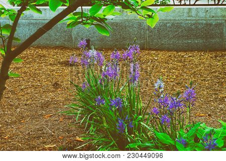 Flowerbed Of The Bright Blue Flowers Pictured In Washington D.c., United States Of America. A Lot Of