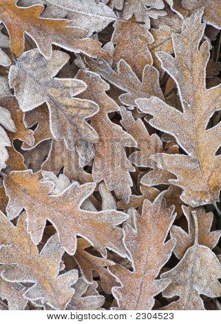 Frosty Oak Leaves
