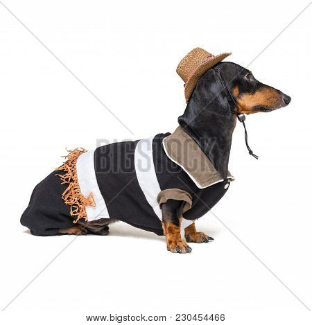 dachshund dog with Cowboy costume and western hat isolated on white background.
