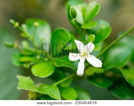 White Flower, Orange Jessamine Flower. Sweet Smell Flower For Make Perfume.