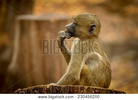 Baby Baboon (papio Cynocephalus) In Profile Sitting Still On A Tree Stump Deep In Thought Hand To Ch
