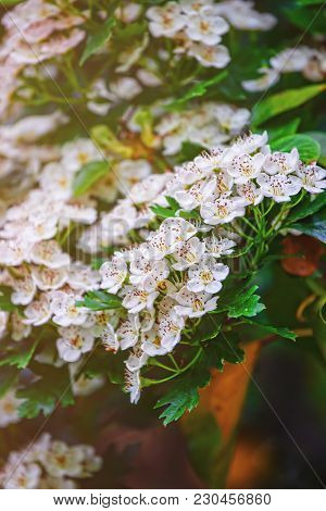 Blooming White Flowers Of Bush In The Garden In Brecon Beacons In South Wales In The South Of Wales
