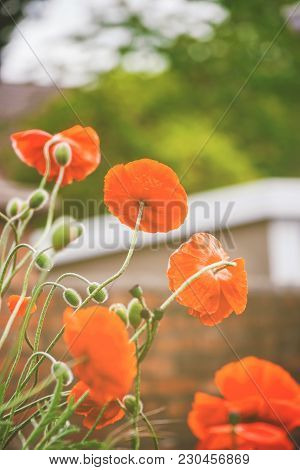 Blooming Poppy Flower In The Garden In Brecon Beacons In South Wales In The South Of Wales Of The Un