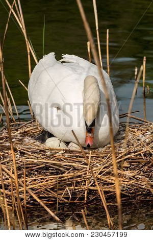 Mute Swan (cygnus Olor), While Hatching The Eggs In The Nest Made Of Reeds