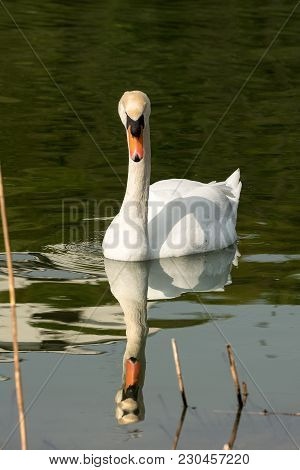 White Mute Swan (cygnus Olor) In The Water Among Reeds