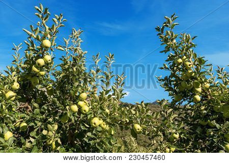 Close-up Of Trees With Green Apples (granny Smith) In Summer On Blue Sky With Clouds. Trentino Alto