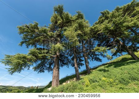 Group Of Cedars Of Lebanon (cedrus Libani) On A Hill On A Blue Sky In Summer