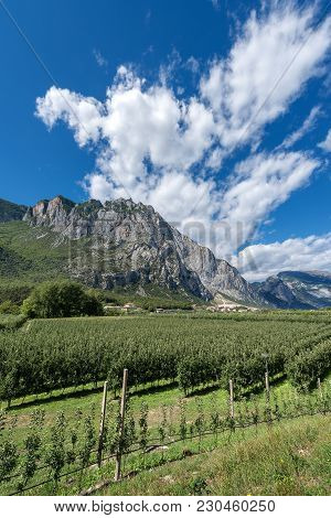 Apple Orchards In The Sarca Valley (valle Del Sarca) And Italian Alps. Trentino Alto Adige, Italy, E
