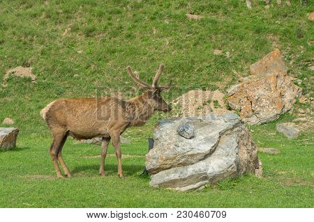 Maral Proudly Stands At The Stone Lifting Horns